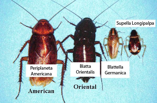v. anche Disinfestazione contro blatte Ecco qui elencate le principali specie di blatte che possiamo trovare su Roma e provincia, in ordine di rilevanza: Blatta orientalis Probabilmente la più comune […]