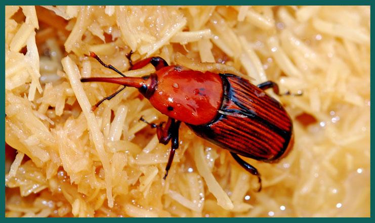 v. anche Disinfestazione e controllo del punteruolo rosso Il punteruolo rosso (nome scientifico Rhynchophorus ferrugineus) è un parassita di diverse specie di palme, recentemente balzato nell'onore delle cronache, in quanto […]
