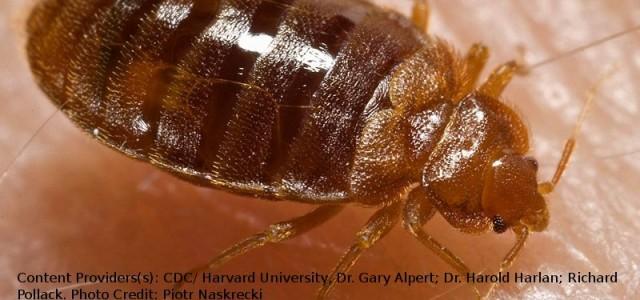 La cimice dei letti (nome scientificoCimex lectularius) è un parassita dell'uomo. Come si evince facilmente dal nome, questo insetto è solito infestare il letto (materasso e struttura) e tutte le […]